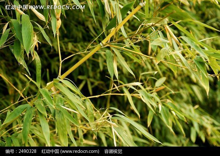 竹子图片_动物植物图片