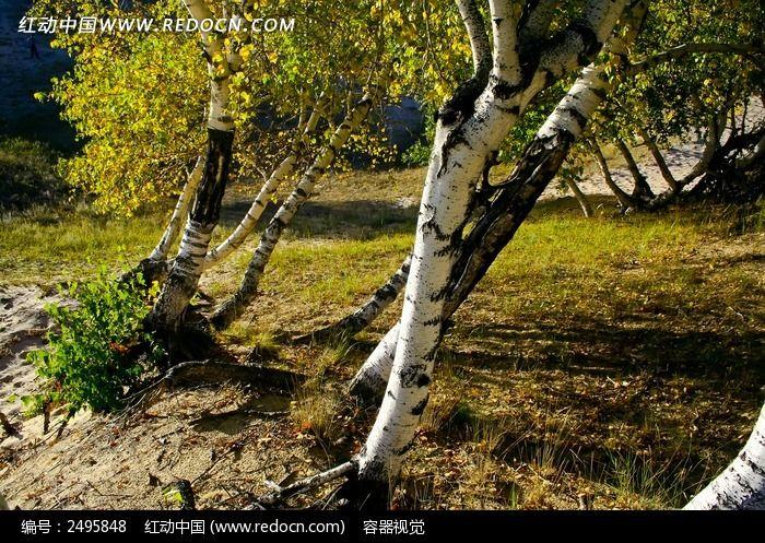 裸露树根的胡杨树