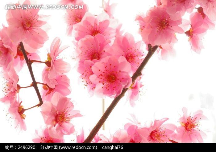 原创摄影图 动物植物 花卉花草 梅花背景