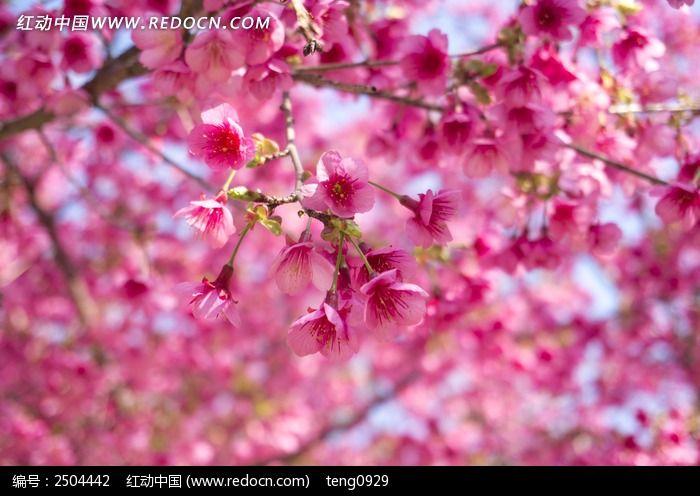 粉色樱花图片_动物植物图片
