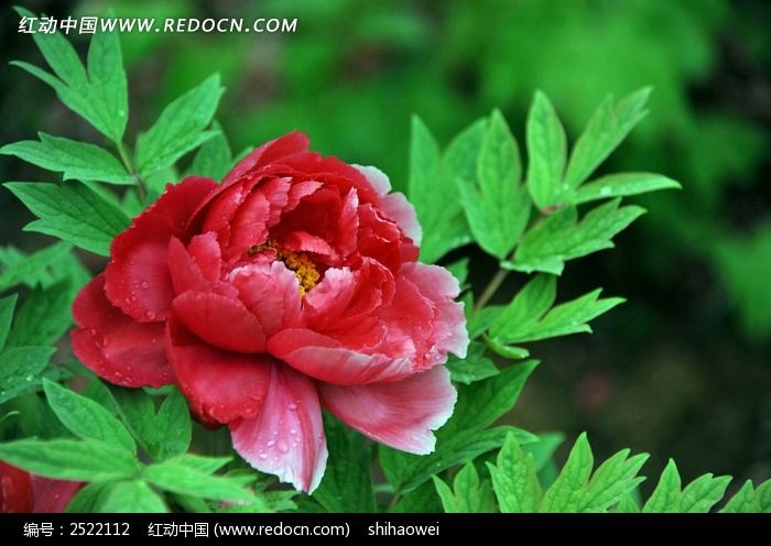 原创摄影图 动物植物 花卉花草 红色牡丹  请您分享: 红动网提供花卉