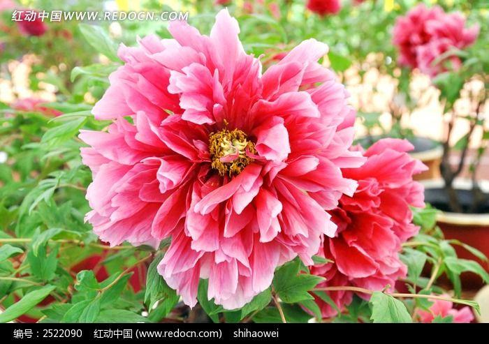 红动网提供花卉花草精美高清图片下载,您当前访问图片主题是红色牡丹花,编号是2522090, 文件格式是JPG,您下载的是一个压缩包文件,请解压后再使用看图软件打开,色彩模式是,图片像素是4128*2727像素,素材大小 是8.04 MB,如果您喜欢本作品,请使用上方的分享功能,分享给您的朋友,可以给他们的设计工作带来便利。