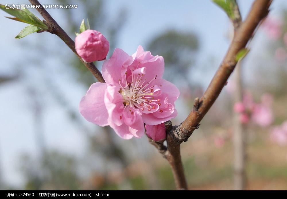 一朵桃花的特写图片_动物植物图片