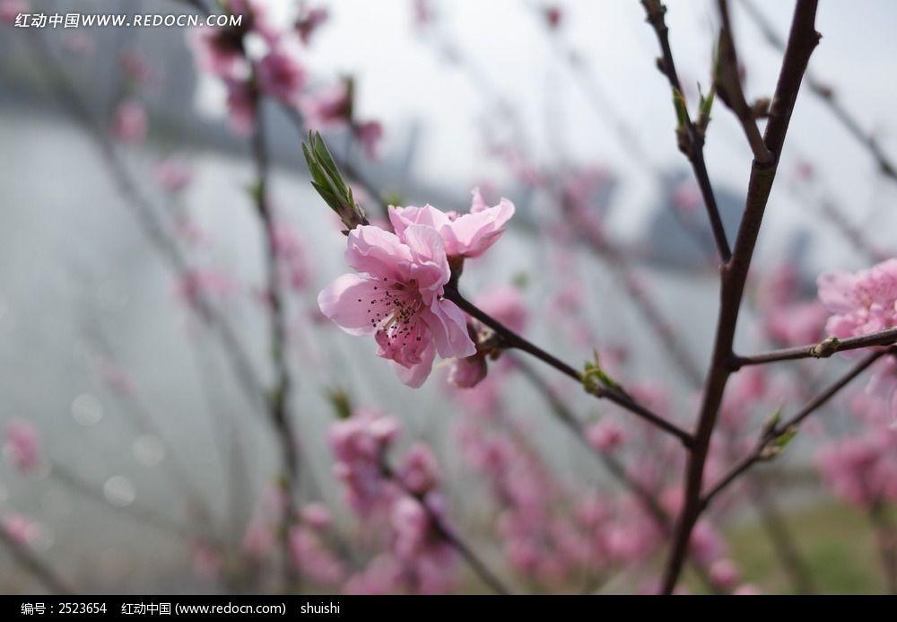 桃花特写图片_动物植物图片