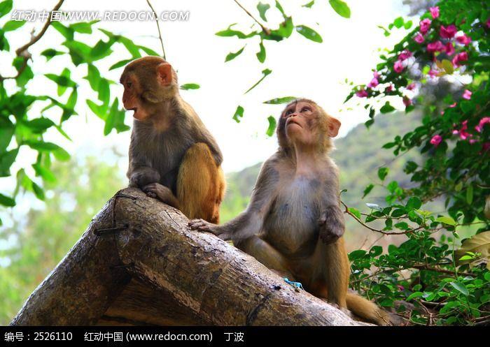 两只小猴子图片素材下载(编号:2526110)