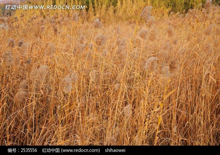 原创摄影图 动物植物 花卉花草 黄色芦苇