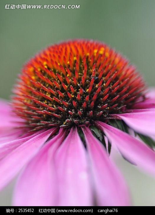 金花菊花蕊图片