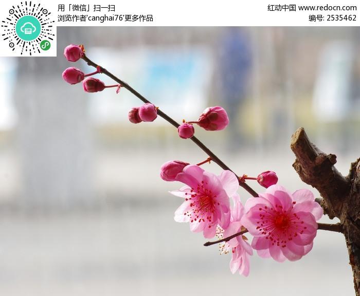 一枝绽放的粉红色梅花图片
