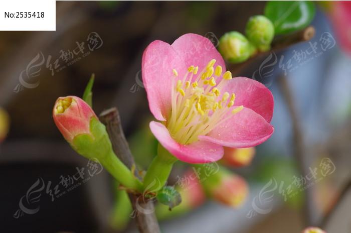 一朵海棠花特写图片_动物植物图片