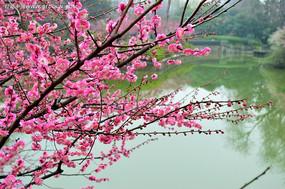 粉色梅花枝