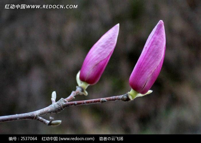 两个红玉兰花蕊图片