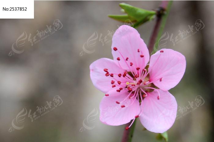 一朵红桃花图片