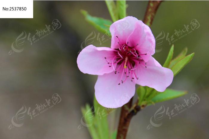 一朵桃花图片_动物植物图片