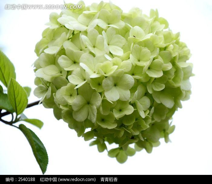 淡绿色绣球花