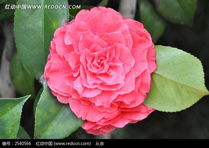 山茶花花朵图片_动物植物图片