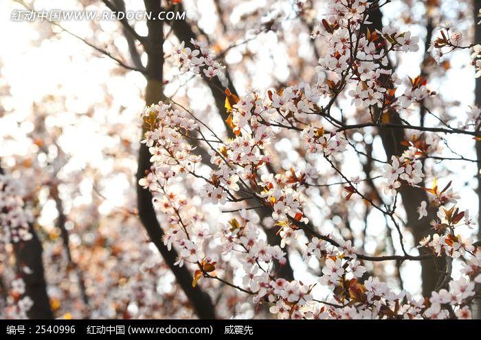 樱花树枝图片_动物植物图片