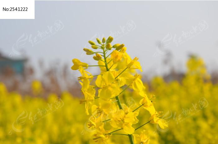 原创摄影图 动物植物 花卉花草 春天的油菜花  请您分享: 红动网提供