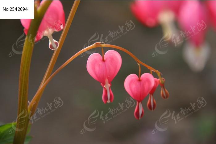 串串红图片_动物植物图片