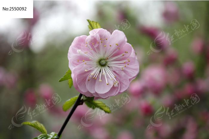 一朵粉桃花图片_动物植物图片