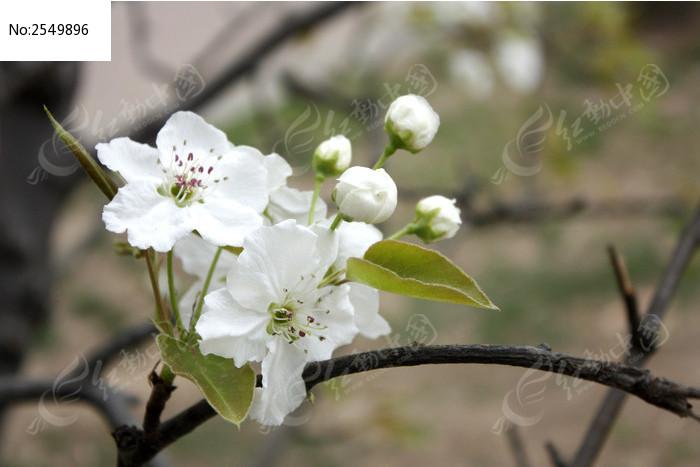 白梨花图片_动物植物图片