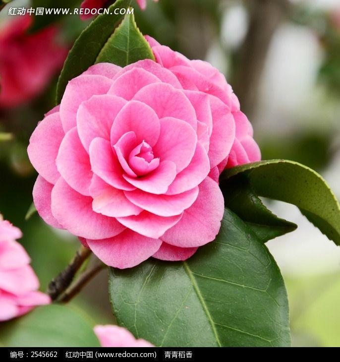 山茶花图片_动物植物图片