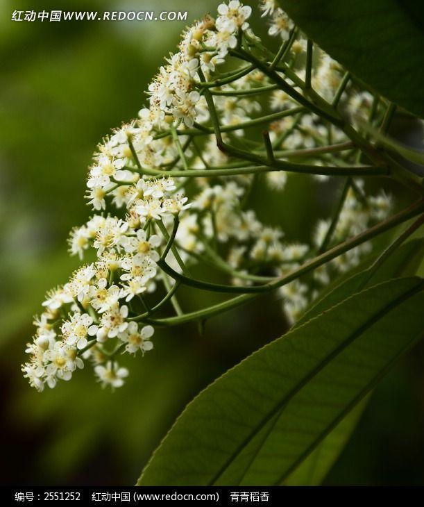 石楠花图片_动物植物图片