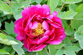 一朵绽放的牡丹花