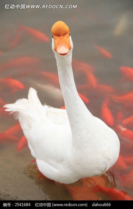 湖水中的大白鹅