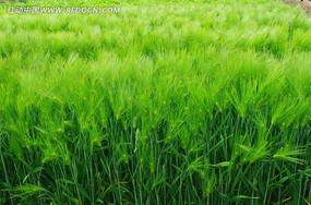 绿色的麦田