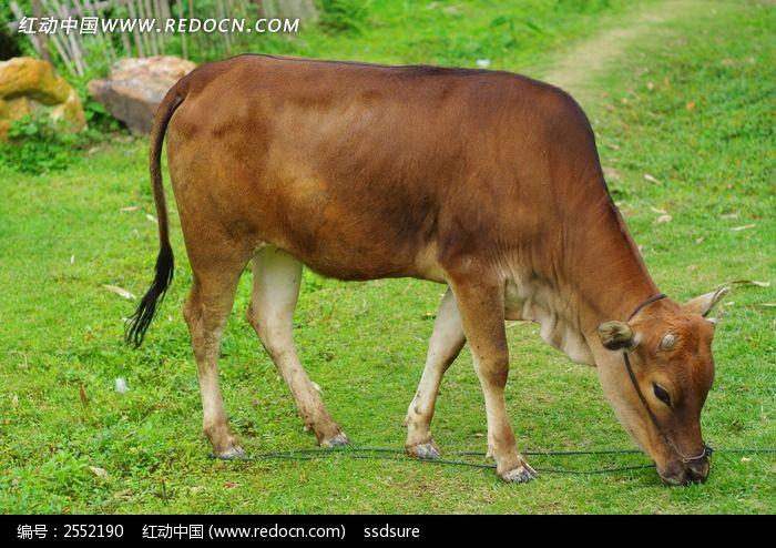 小牛吃草图片(编号:2552190)-家禽家畜-图库下