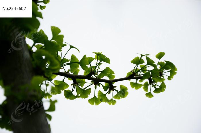 翠绿的银杏枝叶图片,高清大图_树木枝叶素材