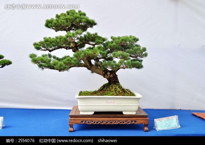 盆栽松树的种类