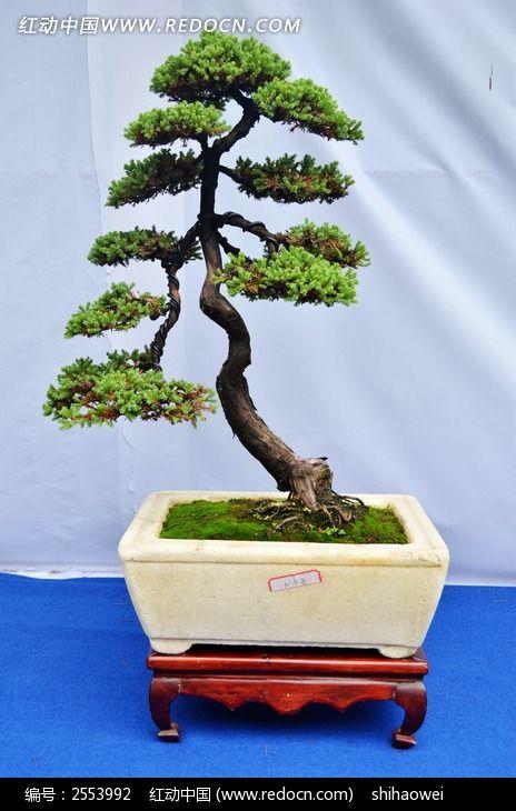 像松树一样的盆栽