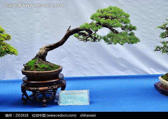 松树盆栽植物景观