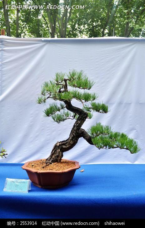 黄山松植物盆栽景观图片