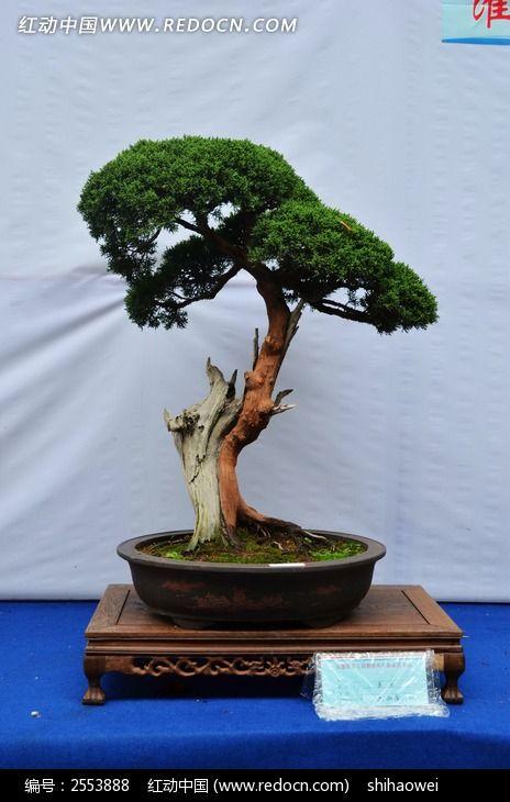 松树盆景植物图片