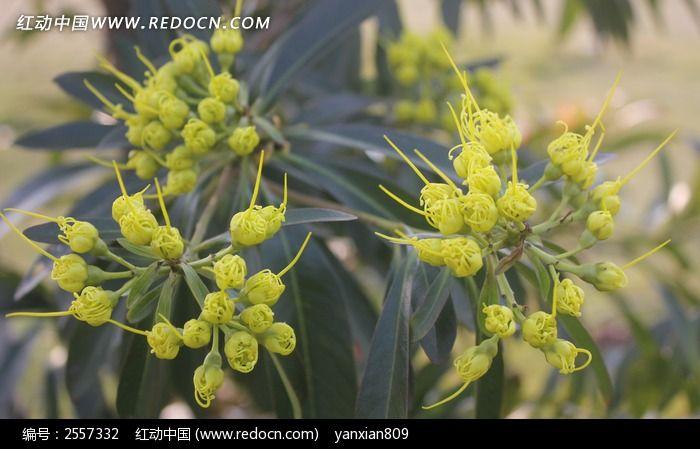 金蒲桃花朵图片_动物植物图片
