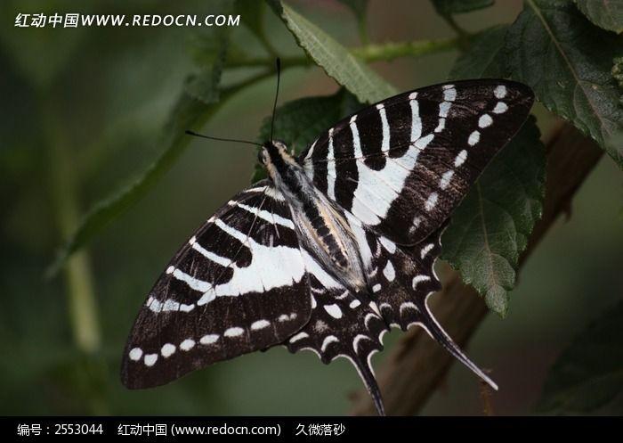 黑白花纹蝴蝶图片