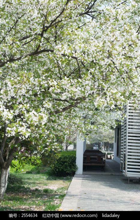 梨花树图片素材下载(编号:2554634)