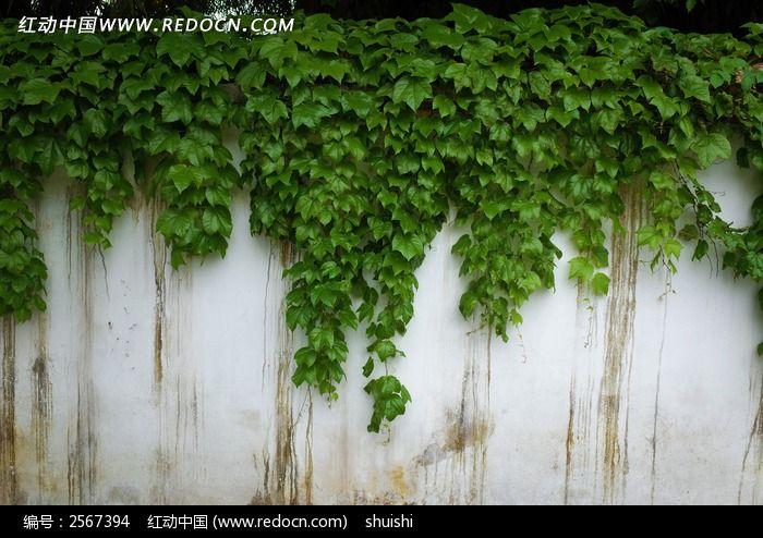 原创摄影图 qq怎么弄指定红包植物 花卉花草 爬山虎素材  请您分享: 红动网提供