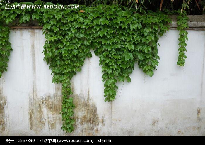 原创摄影图 动物植物 花卉花草 爬山虎与墙  请您分享: 素材描述:红动