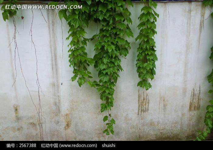 原创摄影图 动物植物 花卉花草 下垂的爬山虎  请您分享: 红动网提供