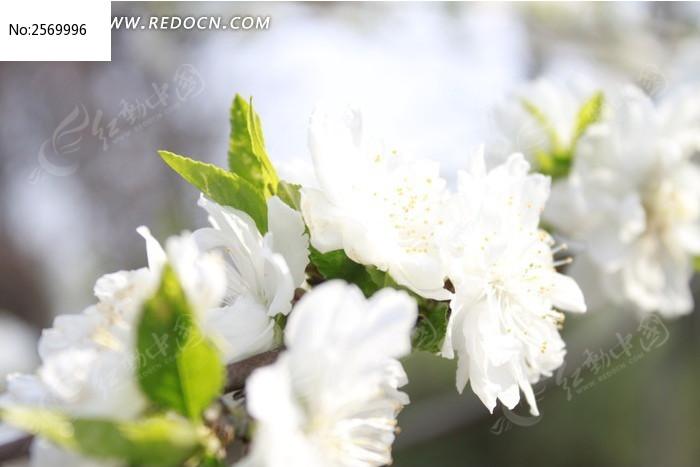 白桃花图片,高清大图_花卉花草素材