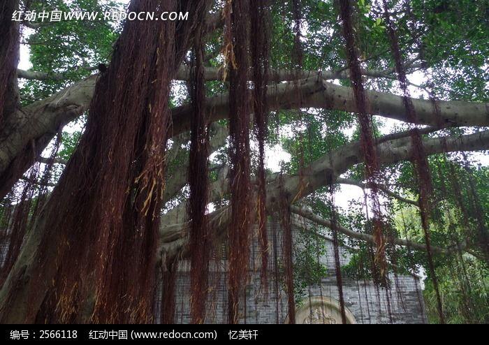 榕树图片,高清大图_树木枝叶素材