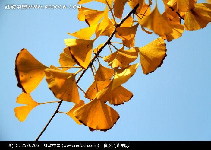 一枝黄色银杏叶图片