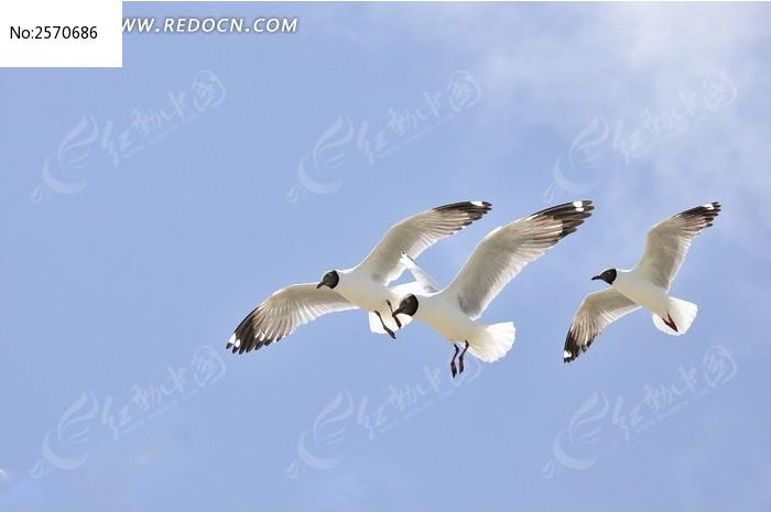 三只棕头鸥图片,高清大图_空中动物素材