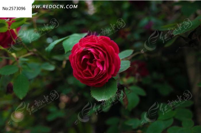 红色蔷薇花特写图片_动物植物图片