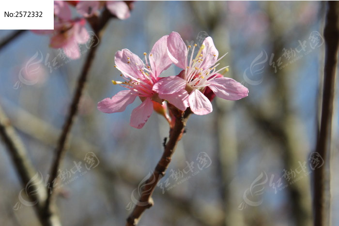 两朵樱花图片