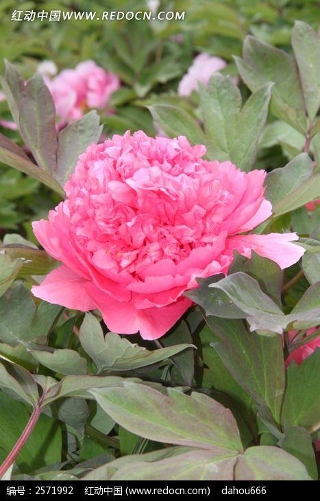一朵牡丹花盛开图片_动物植物图片