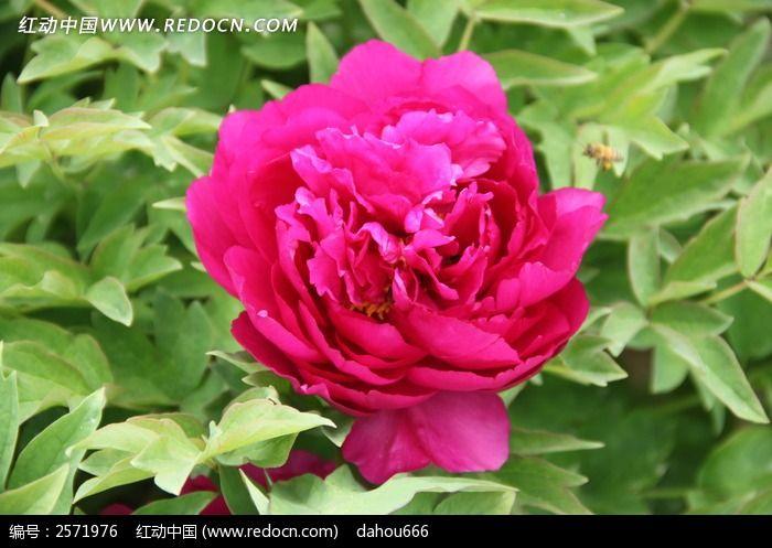 粉色牡丹花特写图片
